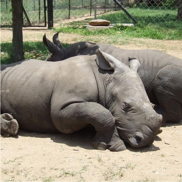 young rhinos