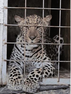 delilah leopard