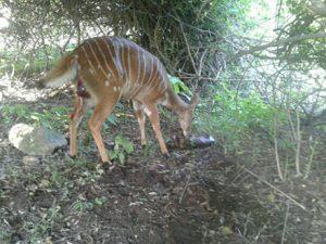 Nyala New Born