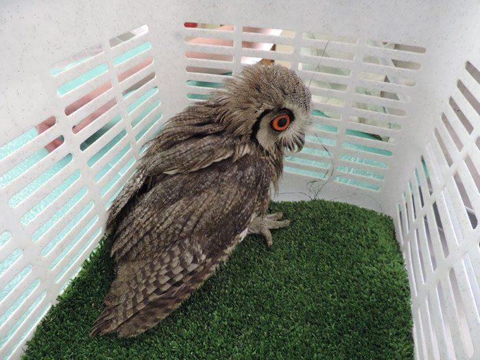 White Faced owl