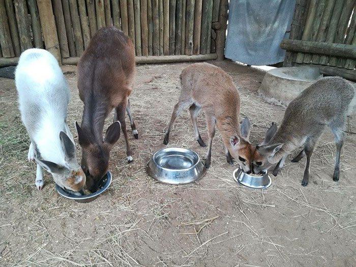 Antelope Babies
