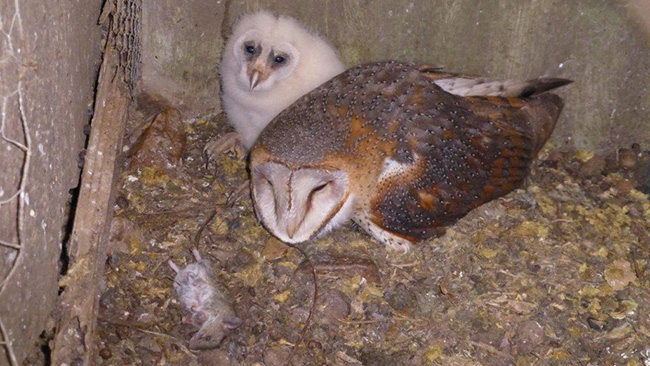 Barn Owl and Chick