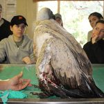 vulture and its broken wing