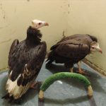 Adult & Juvanile White Headed Vulture