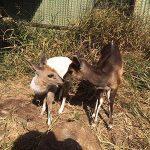 Two Bush Buck
