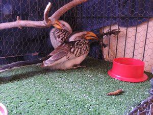 Yellowed Billed Hornbills