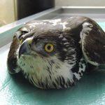 African-Hawk-Eagle
