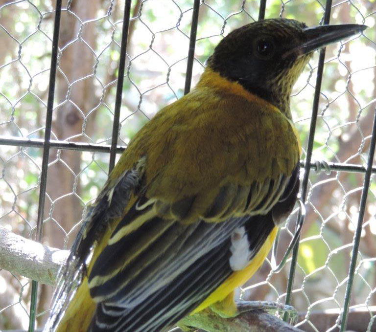 Black Headed Oriole