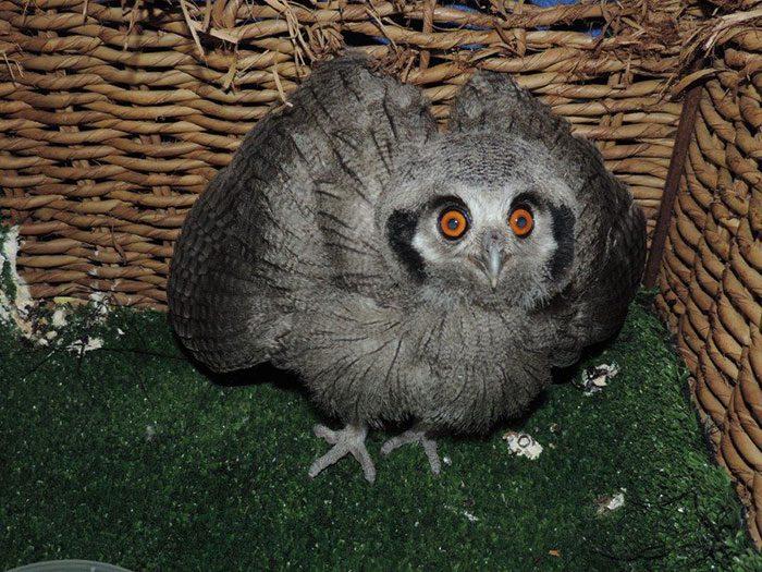 White Faced Owl (Juv)