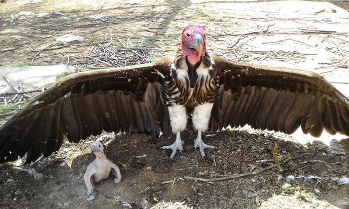 Lappet Faced Vulture Chick