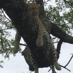 Leopard Chillin