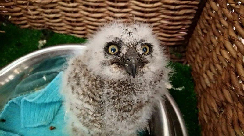 Spotted-Eagle-Owl-Chick