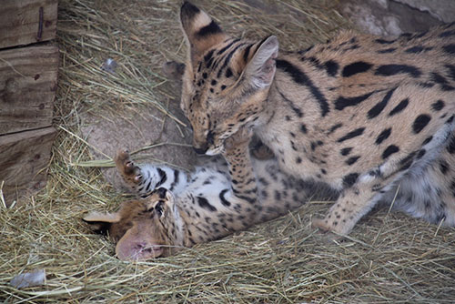 Serval mom and her kittens